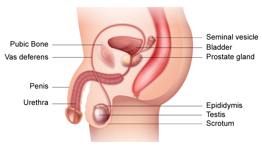 penis-diagram-side